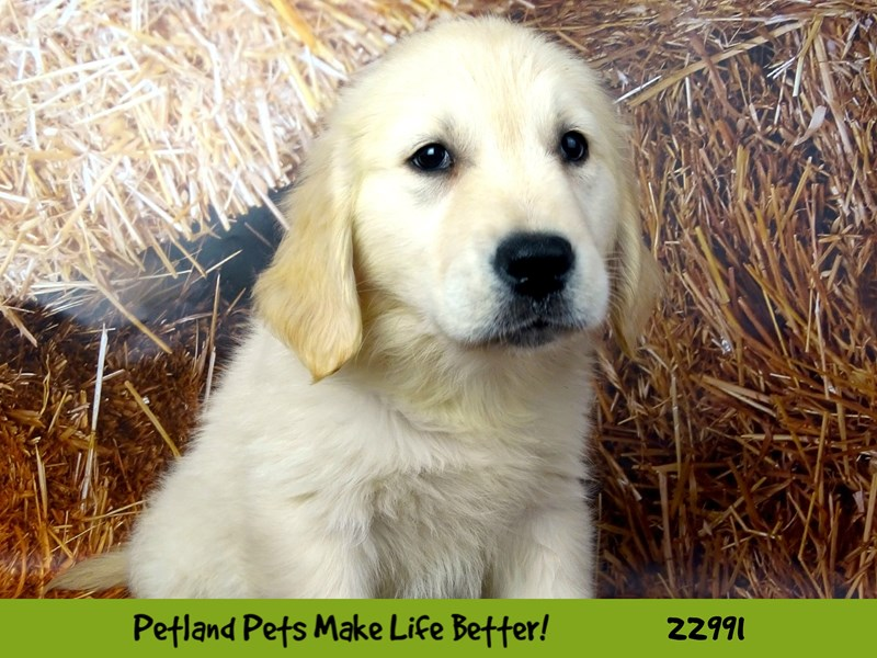 Golden Retriever-DOG-Male-Golden-2626832-Petland Naperville