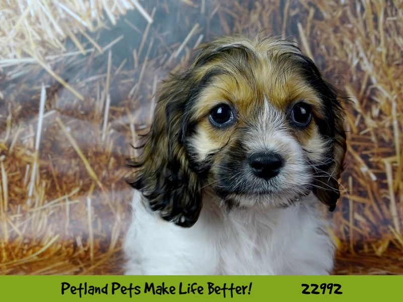 Cocker Spaniel/Bichon Frise-DOG-Female-Sable / White-2626643-Petland Naperville
