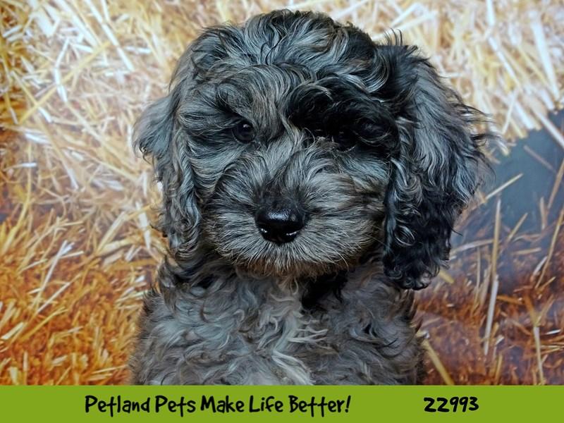 Cocker Spaniel/Poodle-DOG-Male-Blue Merle-2626588-Petland Aurora