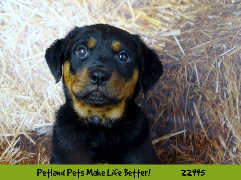 Rottweiler-Male-Black / Mahogany-2626600-Petland Naperville