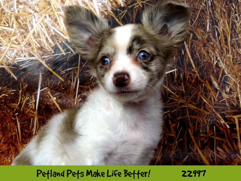 Chihuahua-Male-Chocolate Merle-2626599-Petland Naperville