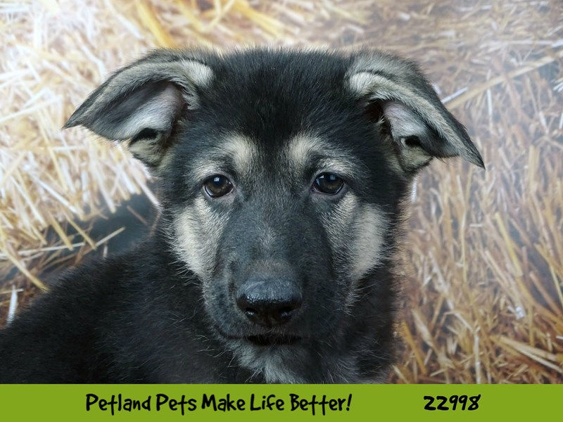 German Shepherd Dog-DOG-Male-Black / Tan-2628830-Petland Naperville