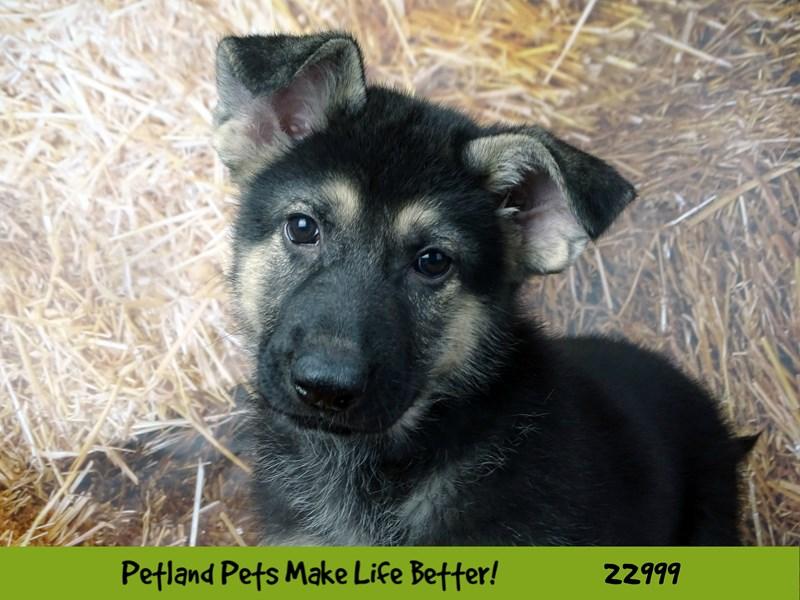 German Shepherd Dog-Female-Black / Tan-2628828-Petland Naperville