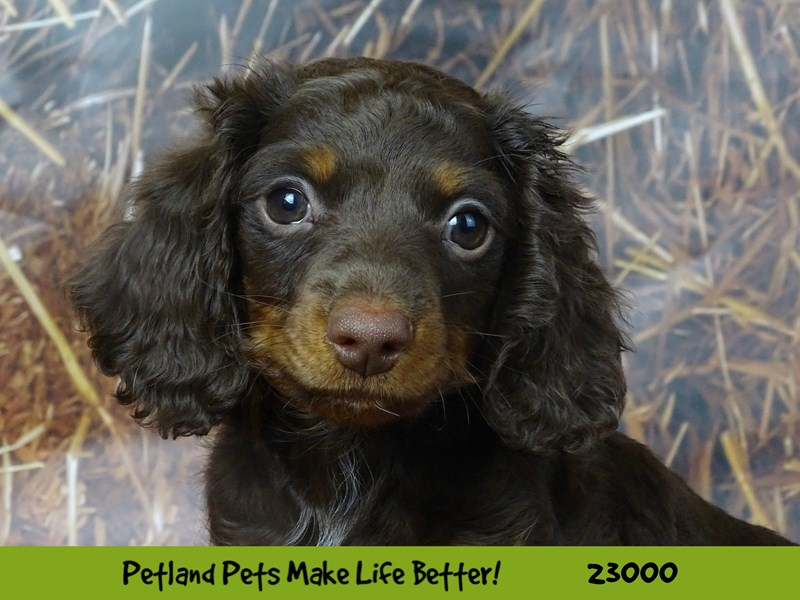 Dachshund-DOG-Male-Chocolate / Tan-2628822-Petland Naperville