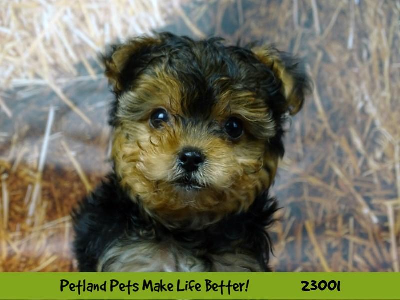Yorkshire Terrier-DOG-Female-Black / Tan-2628819-Petland Naperville
