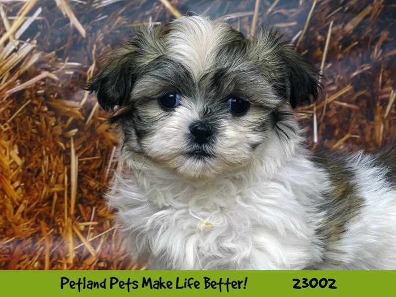 Malshi-Female-Gold / White-2628831-Petland Naperville