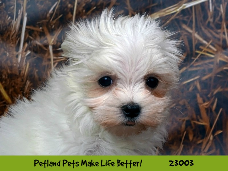 Maltese-Female-White-2628825-Petland Naperville