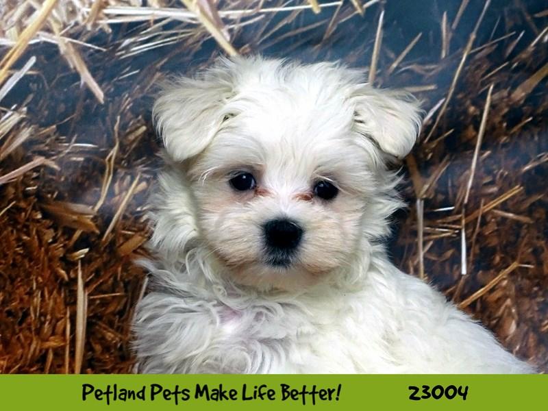 Maltese-DOG-Male-White-2628821-Petland Naperville