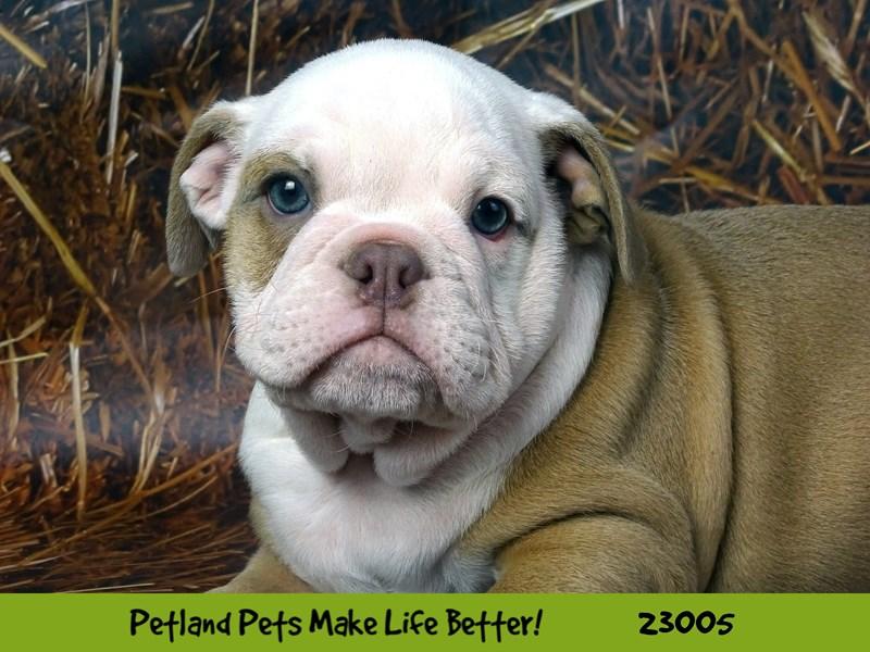 Bulldog-DOG-Male-Fawn / White-2628827-Petland Naperville