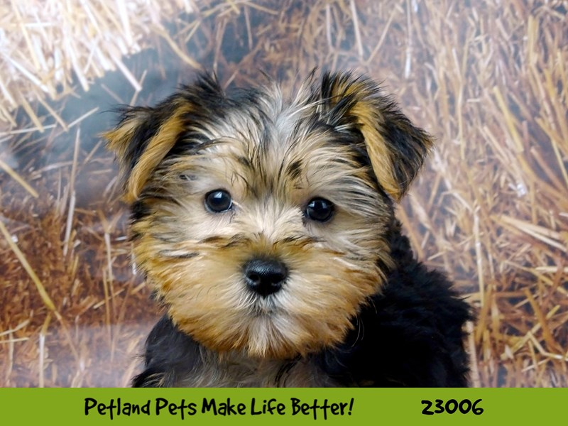 Morkie-Female-Black / Tan-2628848-Petland Naperville