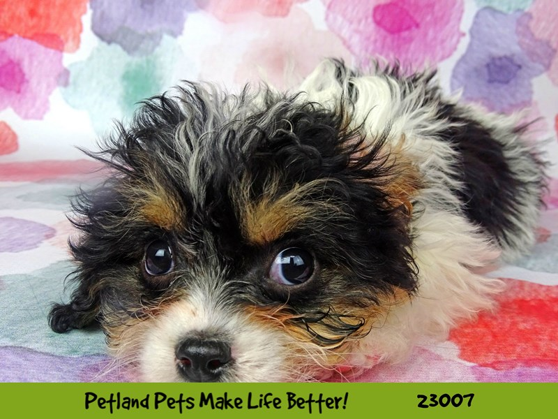 Cavachon-Female-Black and Tan-2633752-Petland Naperville