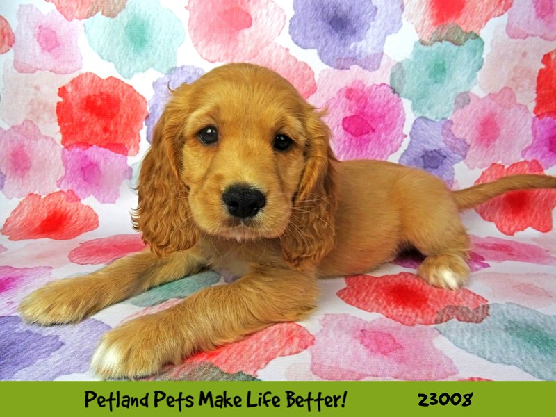 Comfort Golden-DOG-Male-Cream-2633961-Petland Naperville