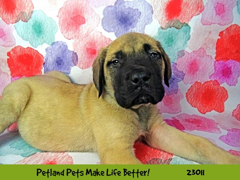 English Mastiff-Male-Apricot-2634208-Petland Naperville