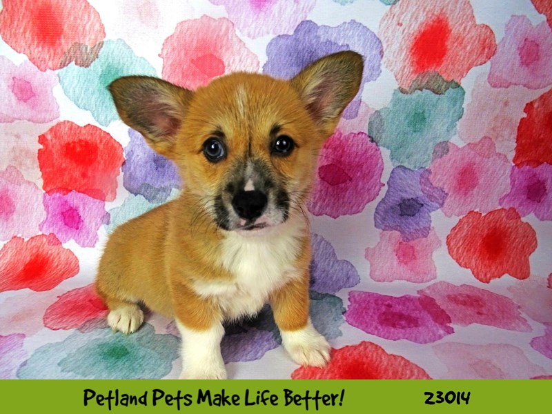 Pembroke Welsh Corgi-Female-Red-2634131-Petland Naperville