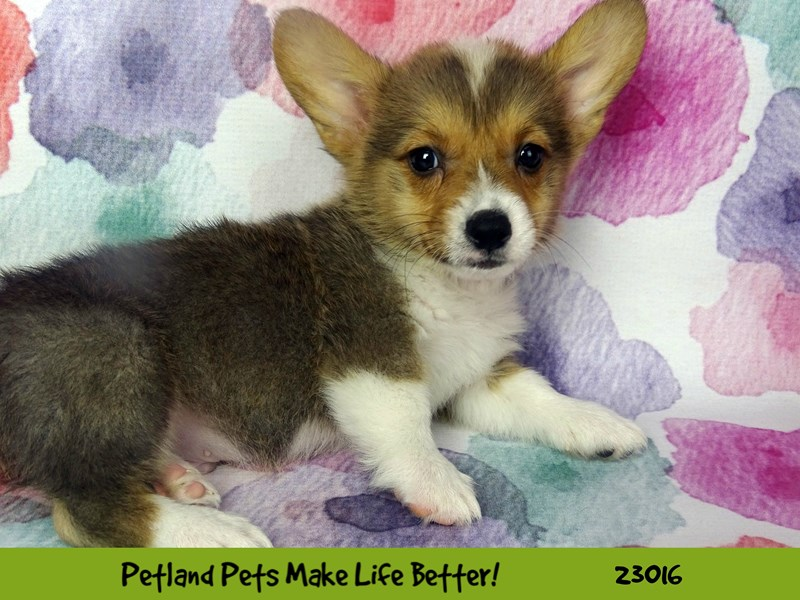 Pembroke Welsh Corgi-Male-Sable / White-2634126-Petland Naperville