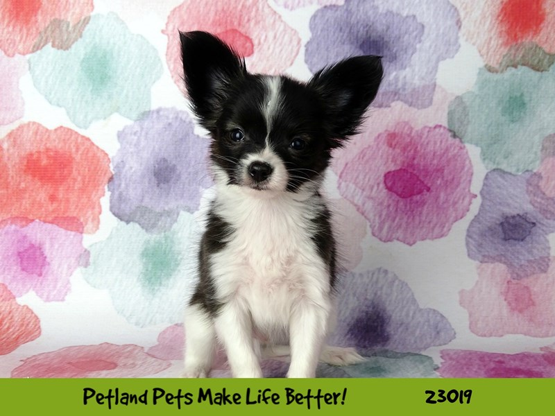 Papillon-Male-Black / White-2636107-Petland Naperville