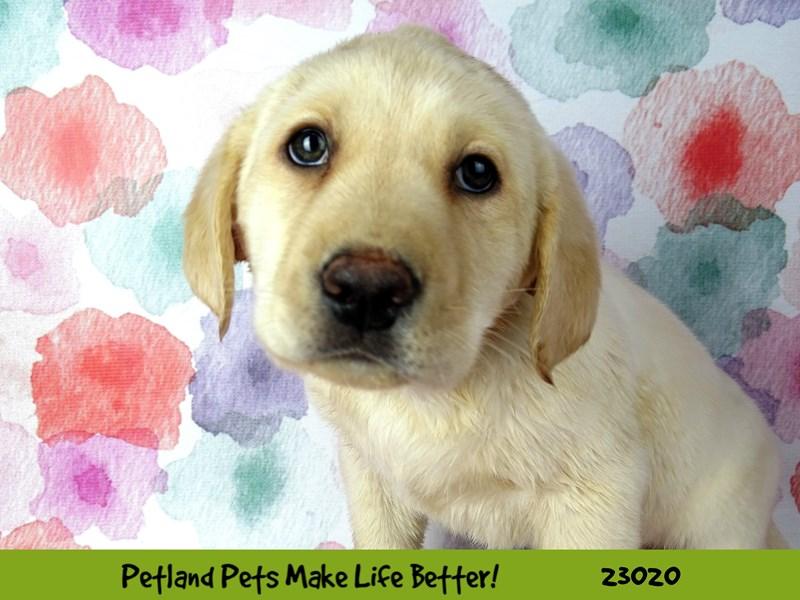 Labrador Retriever-DOG-Male-Yellow-2636122-Petland Aurora