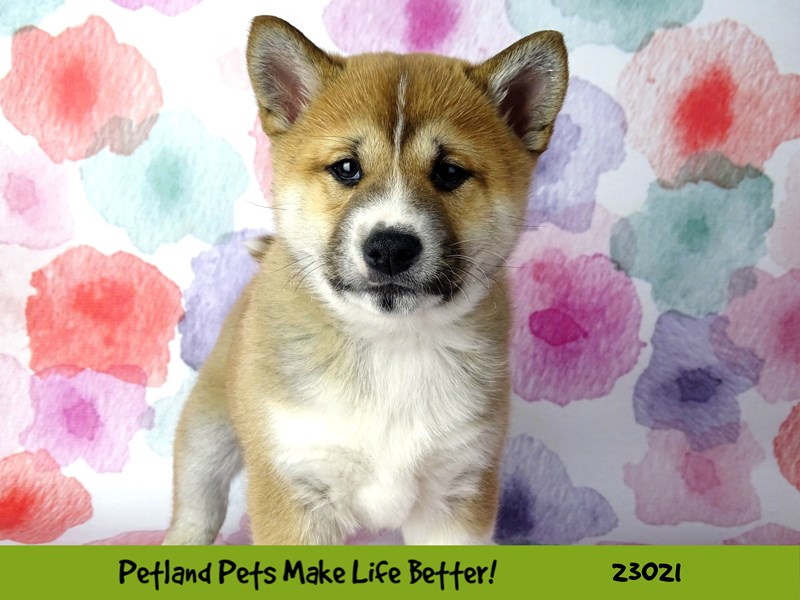 Shiba Inu-DOG-Male-Red-2636105-Petland Aurora