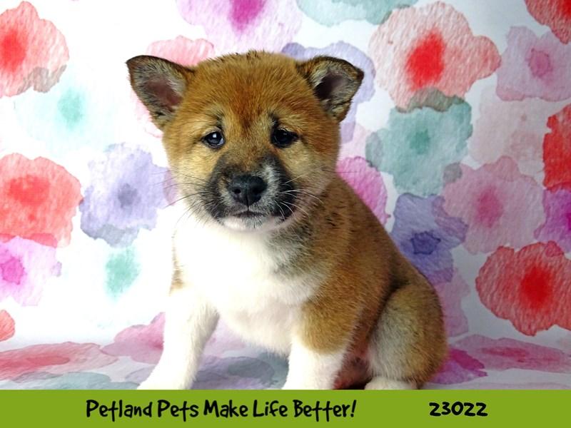 Shiba Inu-Female-Red-2636104-Petland Naperville