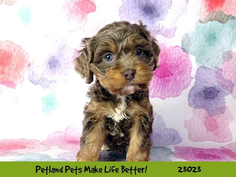 Cockapoo-Female-Gray-2636120-Petland Naperville