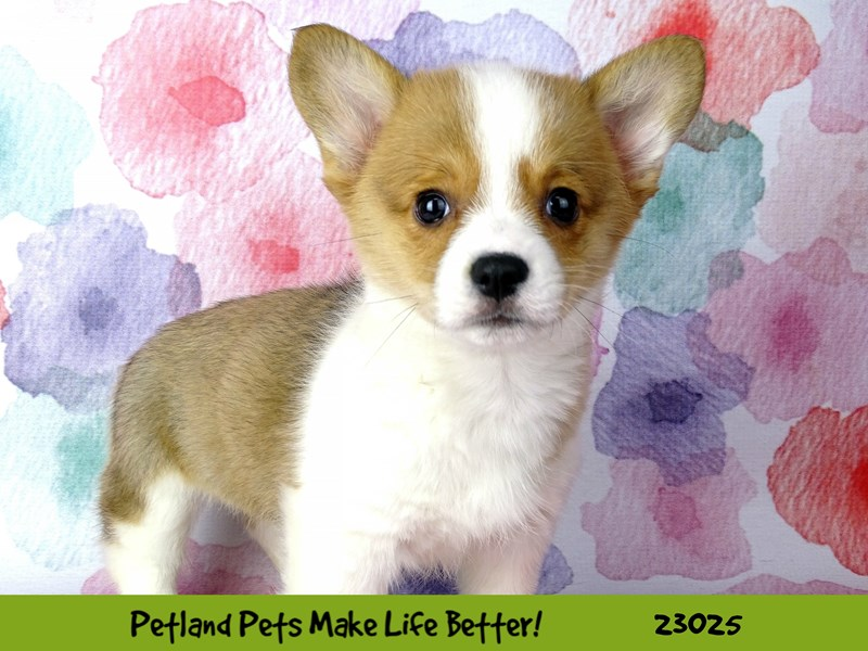 Pembroke Welsh Corgi-DOG-Female-Red / White-2636124-Petland Naperville