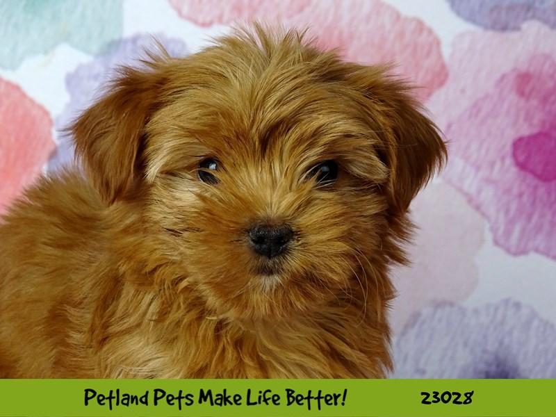 Yorkshire Terrier-Male-Ginger-2641569-Petland Naperville