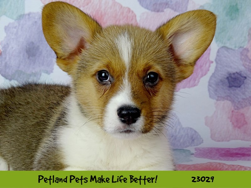 Pembroke Welsh Corgi-DOG-Male-Red and White-2641618-Petland Naperville