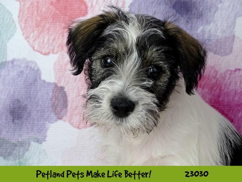 Miniature Schnauzer-DOG-Female-Parti-2641631-Petland Naperville