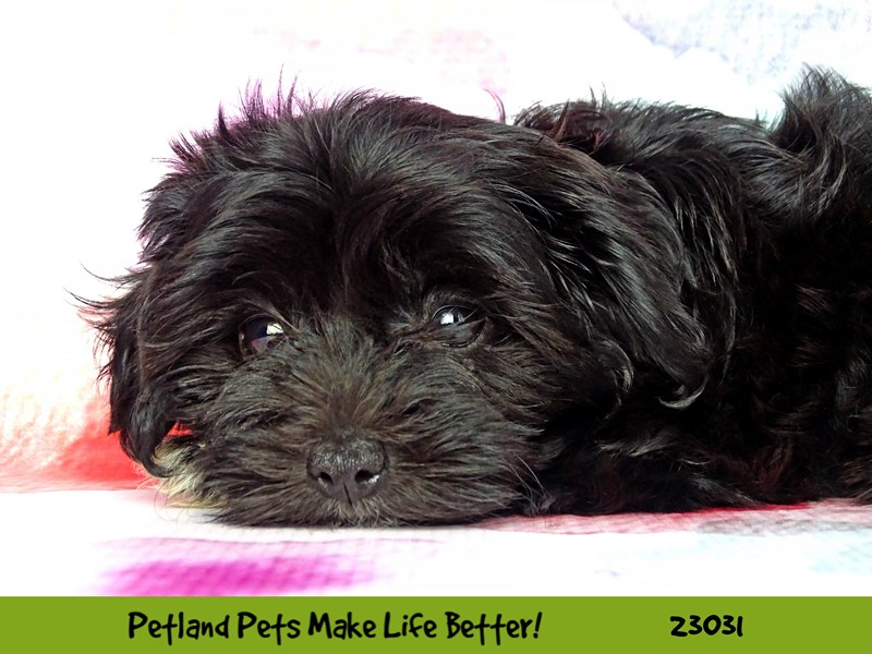 Yorkiepoo-DOG-Male-Black w.White Markings-2641674-Petland Naperville