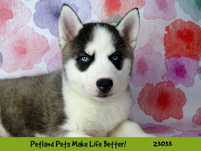 Siberian Husky-DOG-Male-Black / White-2641883-Petland Naperville