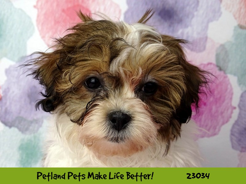 Teddy Bear-DOG-Male-Gold / White-2641884-Petland Naperville