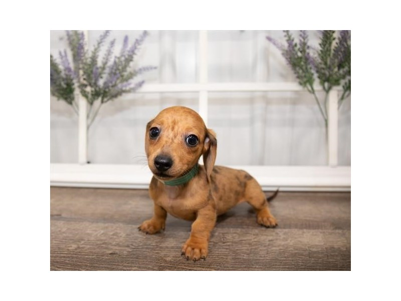 Dachshund-DOG-Female-Red-2644003-Petland Naperville