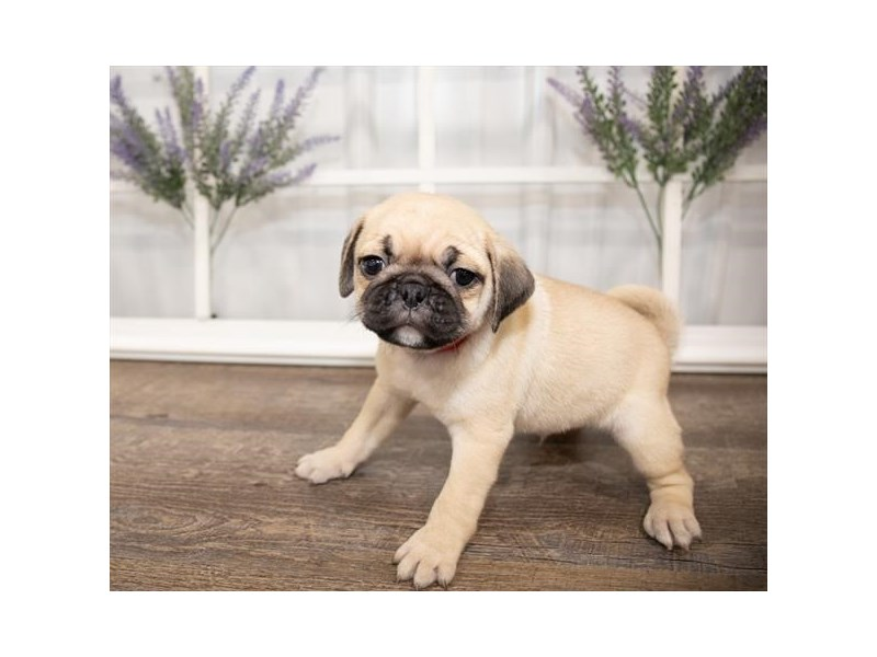 Pug-DOG-Male-Fawn-2644006-Petland Naperville