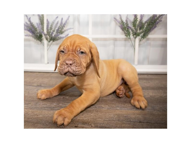 Dogue De Bordeaux-DOG-Female-Fawn-2644008-Petland Naperville