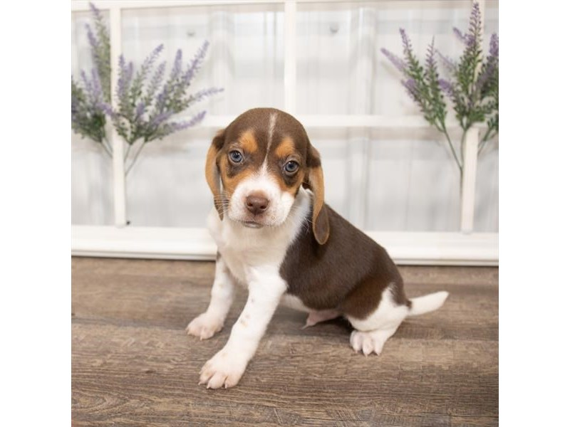 Beagle-DOG-Male-Chocolate White Tan-2644009-Petland Naperville