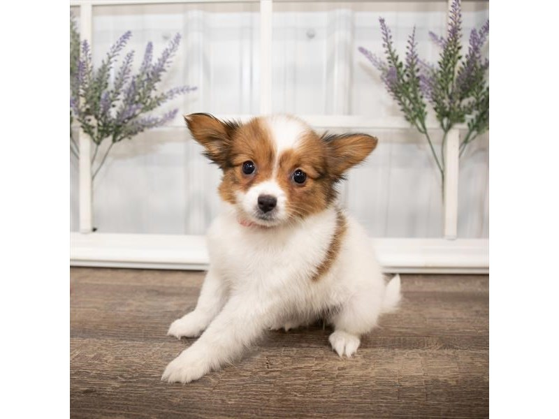 Papillon-Female-Sable / White-2644012-Petland Naperville