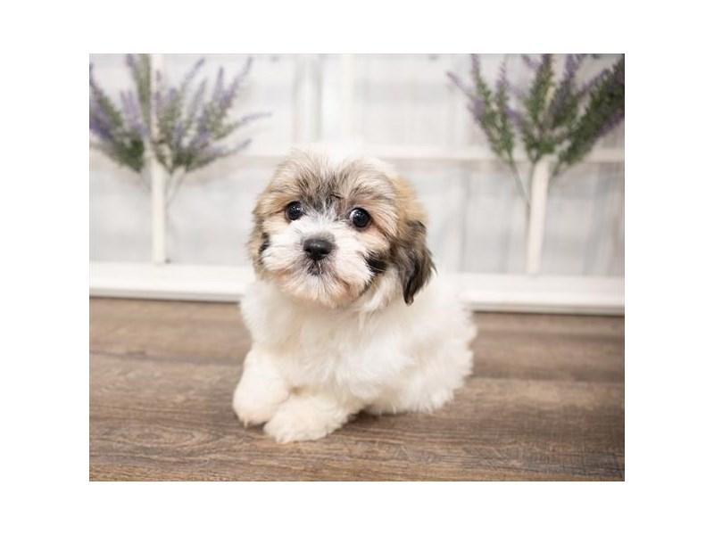 Teddy Bear-DOG-Female-Gold / White-2644019-Petland Naperville
