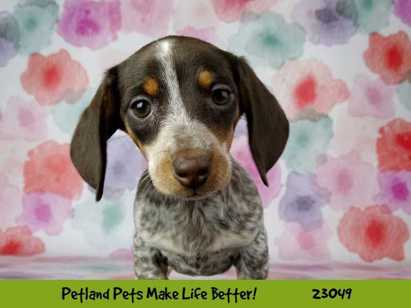 Dachshund-DOG-Female-Chocolate / Tan-2649176-Petland Naperville