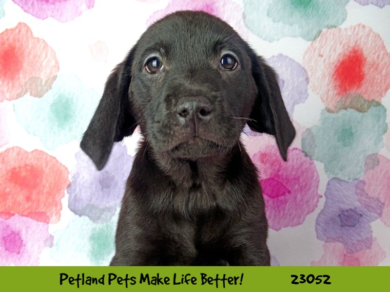 Labrador Retriever-Female-Black-2649179-Petland Naperville