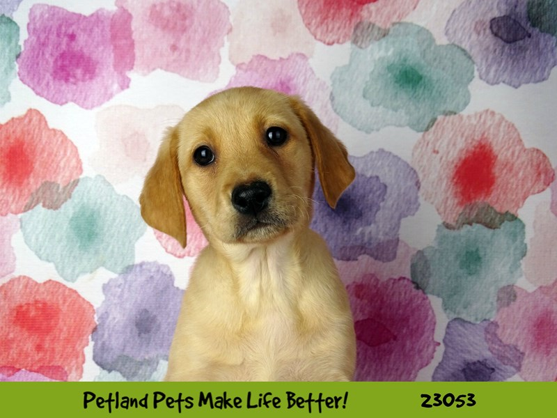 Labrador Retriever-Female-Yellow-2649178-Petland Naperville