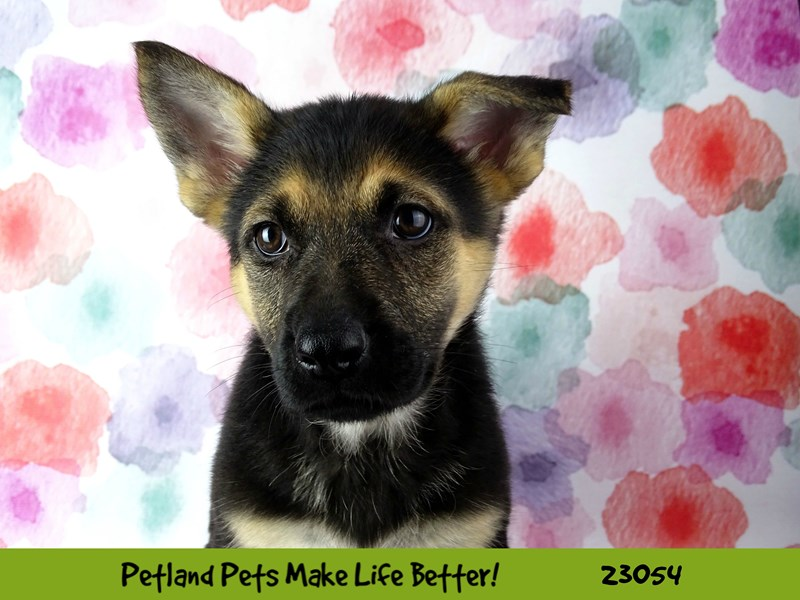 German Shepherd Dog-Female-Black / Tan-2649177-Petland Naperville
