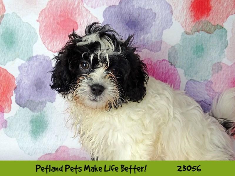 ShizaPoo-DOG-Male-Black / White-2649201-Petland Naperville