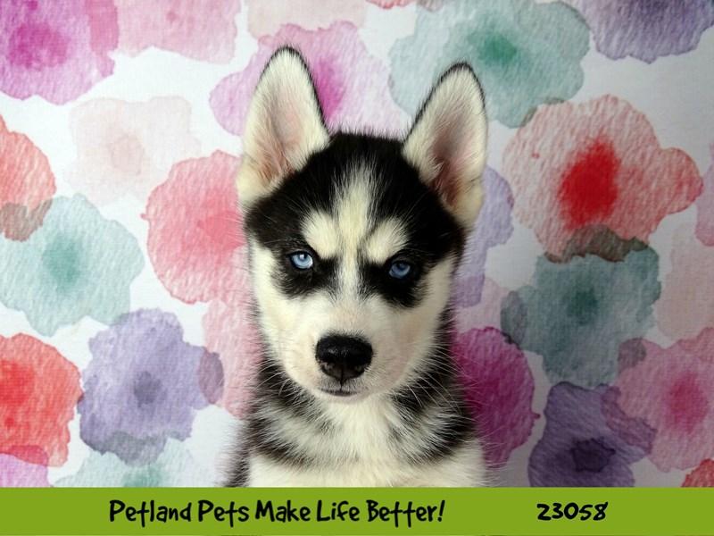 Siberian Husky-DOG-Male-Black / White-2649264-Petland Aurora