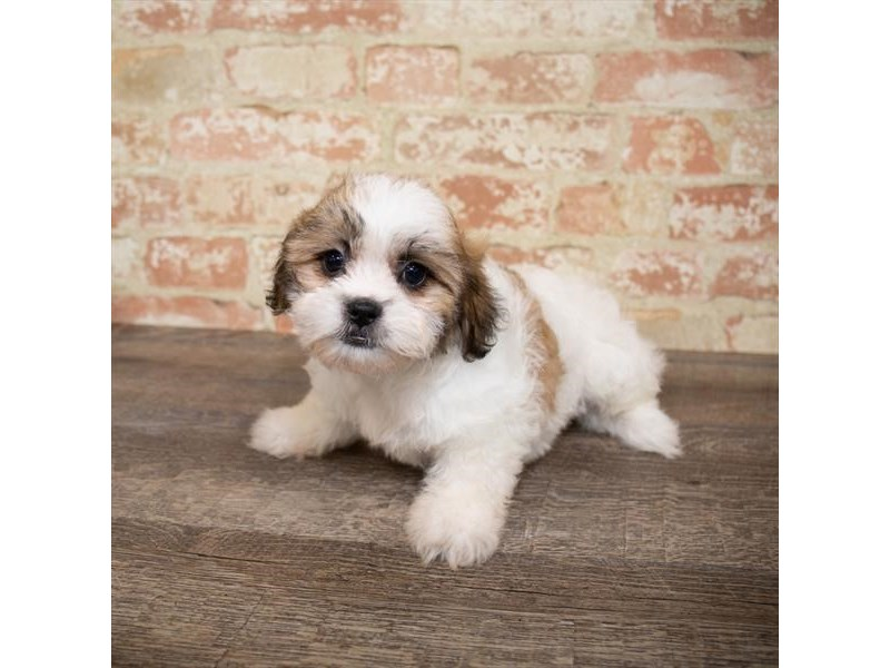 Teddy Bear-DOG-Female-Gold / White-2651276-Petland Naperville