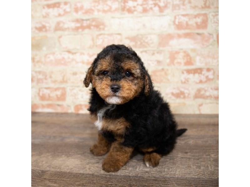Yorkiepoo-DOG-Male-Black / Tan-2651278-Petland Naperville