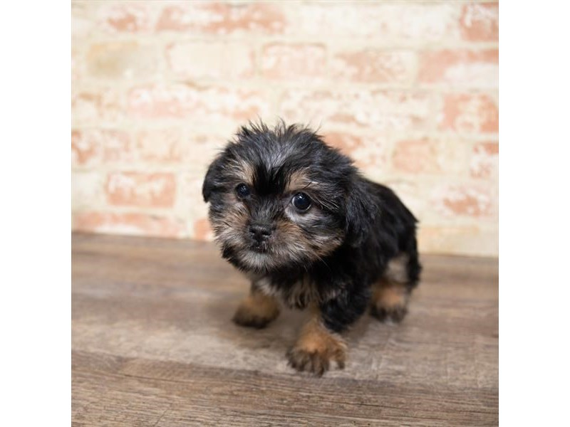 Shorkie-DOG-Female-Black / Tan-2651287-Petland Naperville