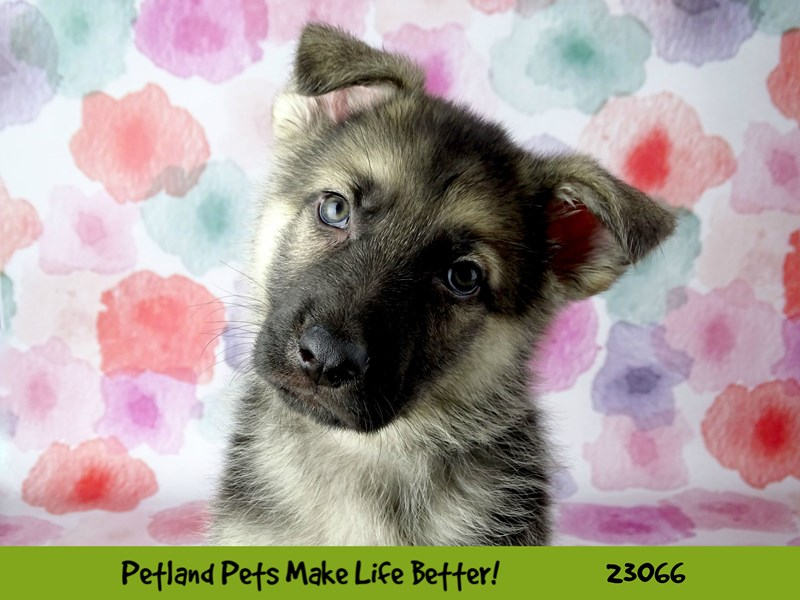 German Shepherd Dog-DOG-Male-Black / Tan-2651310-Petland Naperville