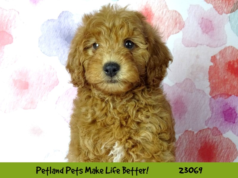 F1B Mini Goldendoodle-Male-Red-2656390-Petland Naperville