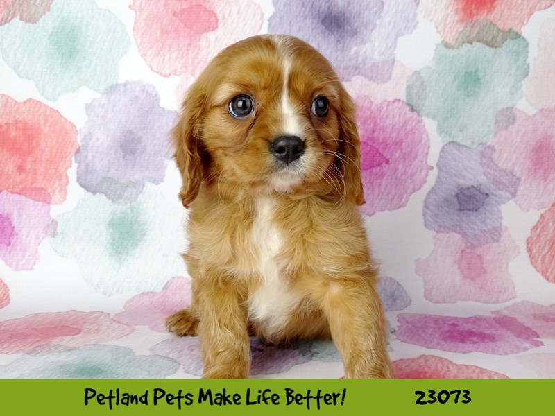 Cavalier King Charles Spaniel-DOG-Male-Red-2656588-Petland Naperville