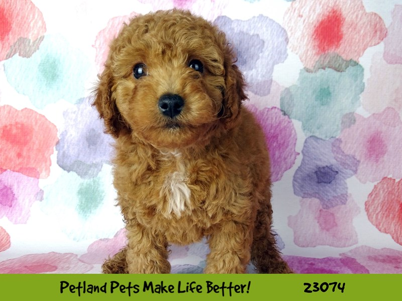 F1B Mini Goldendoodle-Female-Red-2656592-Petland Naperville